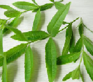 Herb of the Month Lemon Verbena