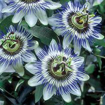 Herb of the Month Passion Flower